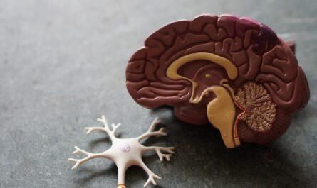 Lidský mozek prezentovaný prostřednictvím umělé makety.